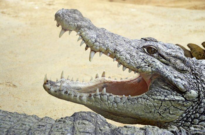 crocodile-1250472_1280