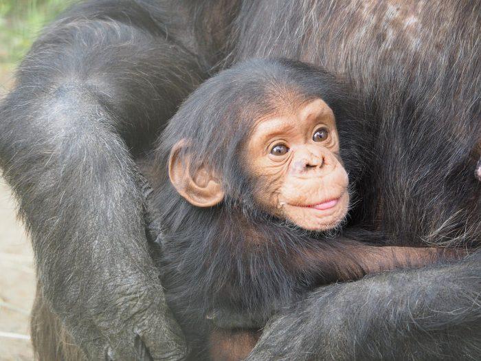 人の食性を考える時、チンパンジーを参考にしてはいけない理由【前編】
