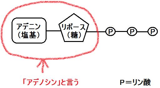 ATP(アデノシン三リン酸)の構造