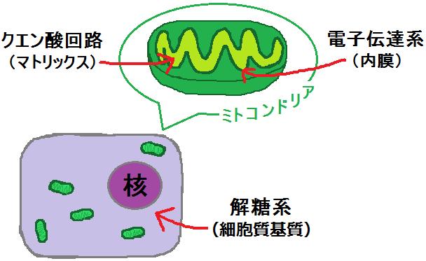 解糖系とクエン酸回路と電子伝達系