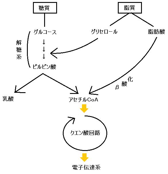 脂質のエネルギー代謝の経路