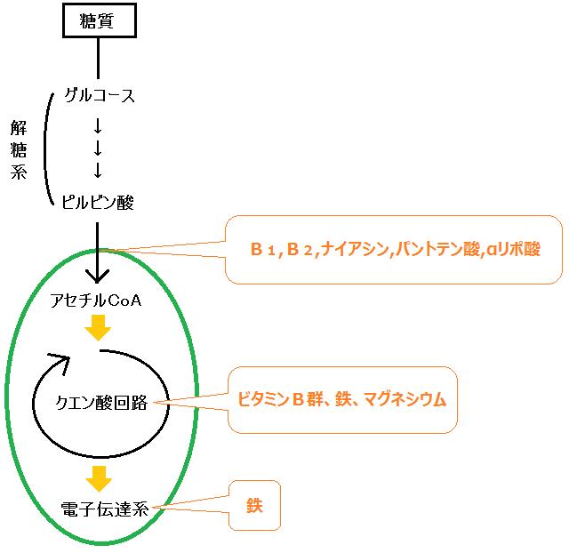 クエン酸回路と電子伝達系の補酵素