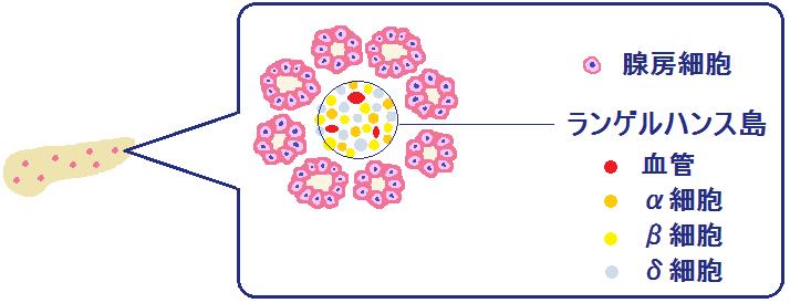 ランゲルハンス島のα細胞とβ細胞