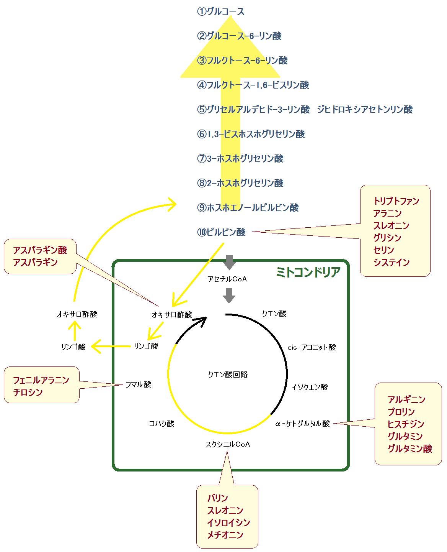 糖原性アミノ酸を材料にした糖新生の経路