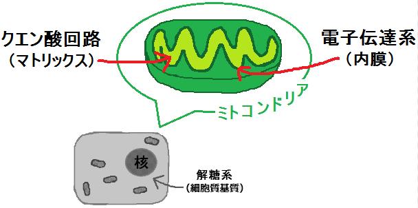 ミトコンドリアのエネルギー代謝