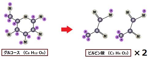 解糖系ではグルコース1分子がピルビン酸2分子になる