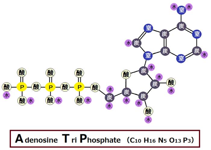 ATP(アデノシン三リン酸)について分かりやすく説明してみた
