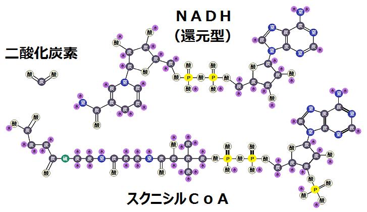 スクニシルCoAと還元型のNADHと二酸化炭素