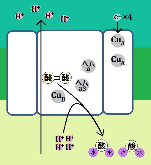複合体Ⅳは水素イオンを膜間腔に放り出す