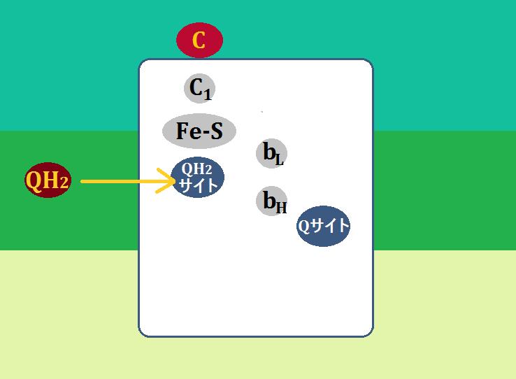 ユビキノール(QH2)はQH2サイトに結合