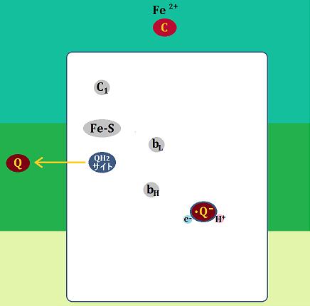 シトクロムcとユビキノンは複合体Ⅲを離れ、セミキノンはとどまる