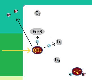 QH2は電子を伝達し、水素イオンを膜間腔に放り出す