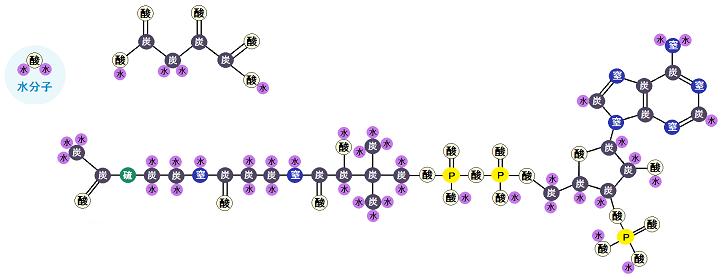アセチルCoAとオキサロ酢酸と水分子