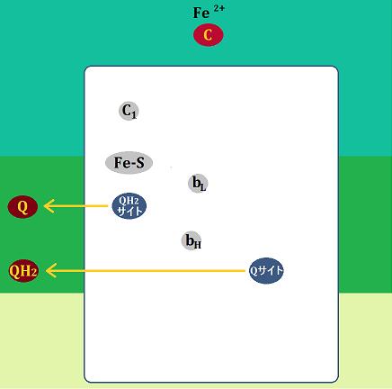 ユビキノン、ユビキノール、シトクロムcは複合体Ⅲから離れる