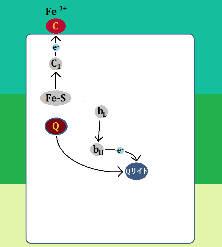 電子はシトクロムcとユビキノン(Q)へ渡される