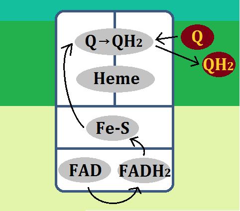 複合体Ⅱ(コハク酸デヒドロゲナーゼ複合体)