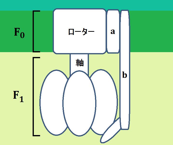 ATP合成酵素(複合体Ⅴ)