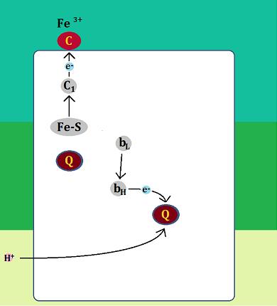 電子はシトクロムcとユビキノンへ、ユビキノンはH+を取り込む