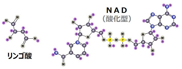 リンゴ酸と酸化型NAD
