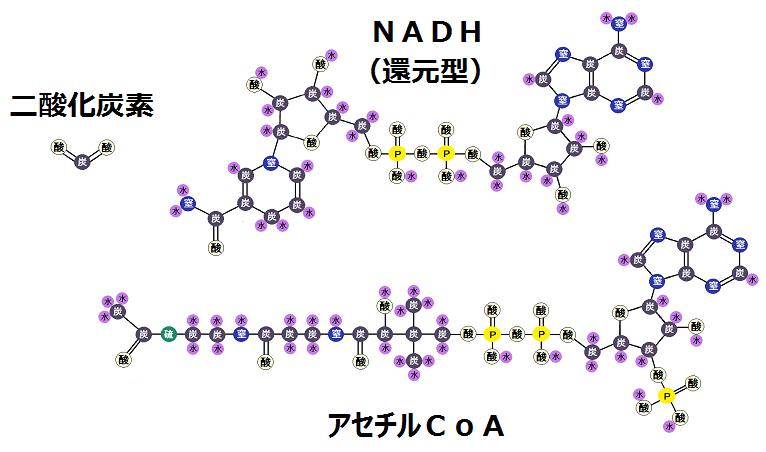二酸化炭素と還元型NADHとアセチルCoA