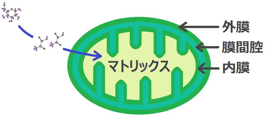 ピルビン酸輸送