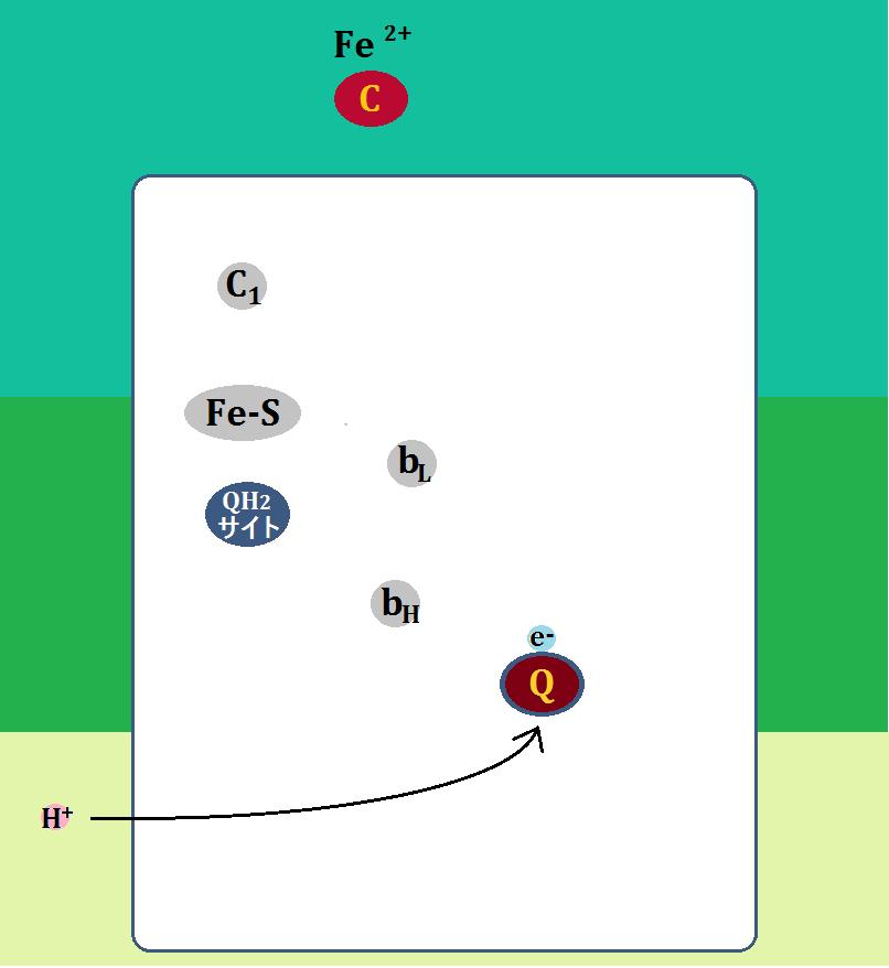 シトクロムcは複合体Ⅲを去り、ユビキノンはH+を取り込む