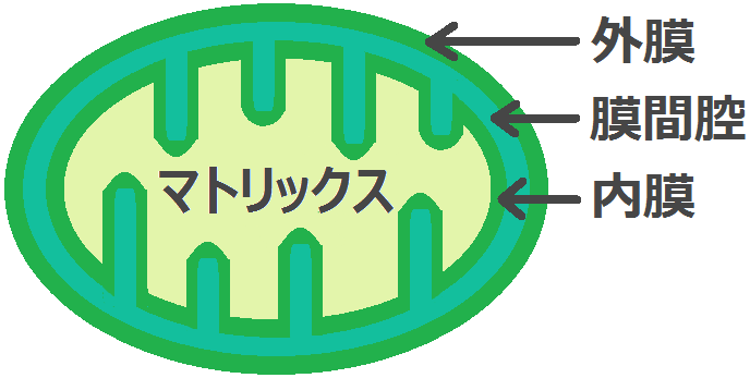 ミトコンドリアの外膜、内膜、膜間腔