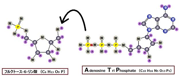 フルクトース-6-リン酸とATP
