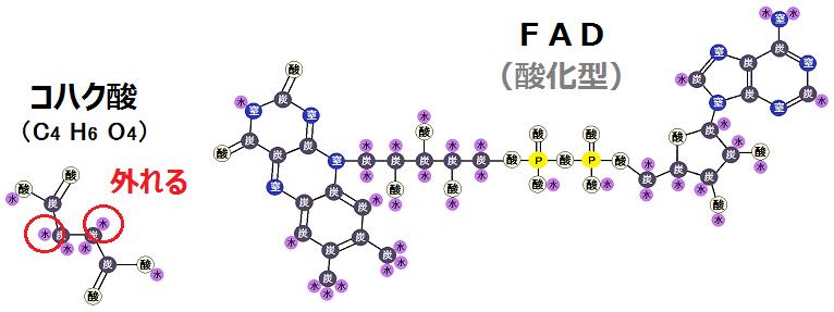 コハク酸とFAD