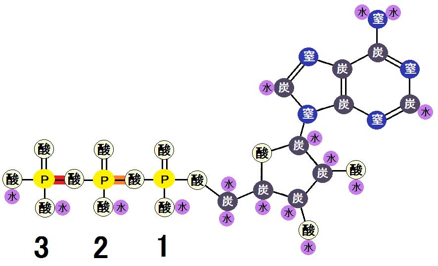 ATPの高エネルギーリン酸結合