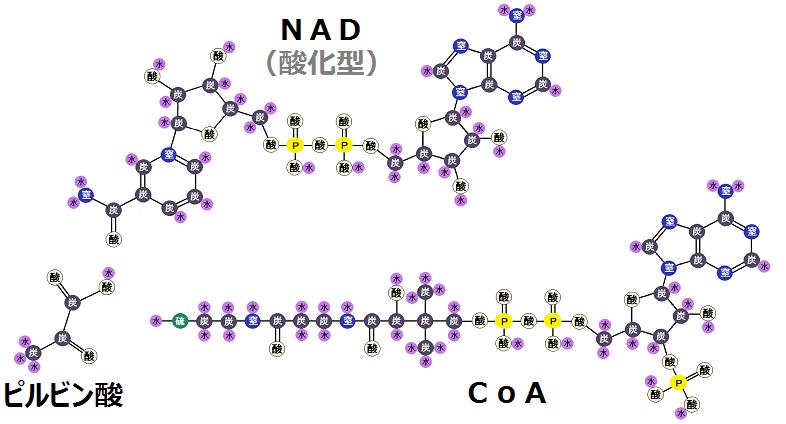 ピルビン酸と酸化型NADとCoA