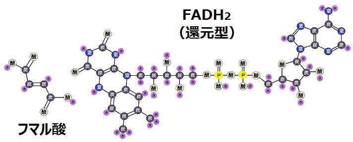 フマル酸と還元型FADH2