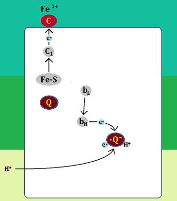 電子はシトクロムcとセミキノンへ、セミキノンはH+を取り込む