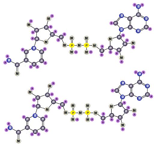 NADH2分子