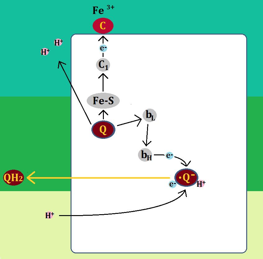 複合体Ⅲステップ2