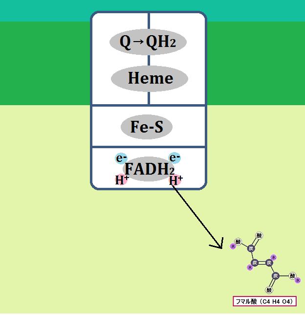 フマル酸とFADH2