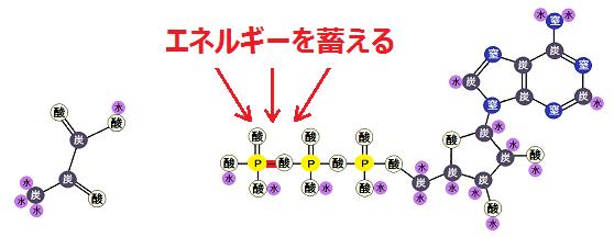 ピルビン酸とATP