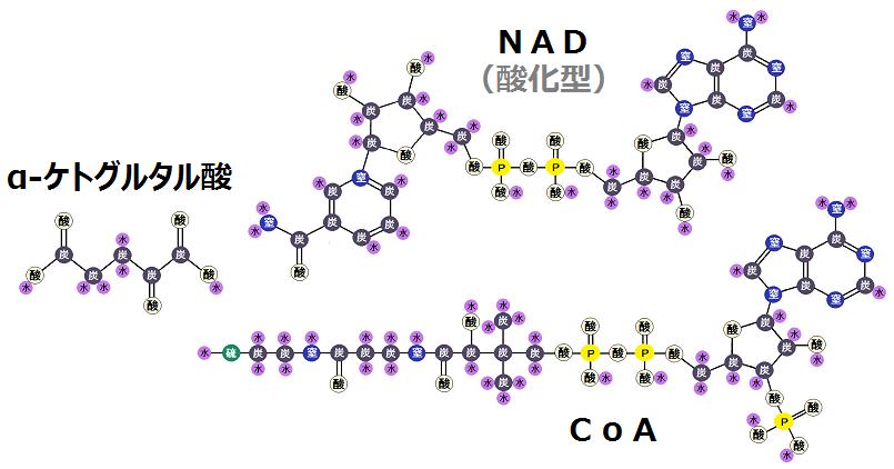 α-ケトグルタル酸と酸化型NADとCoA