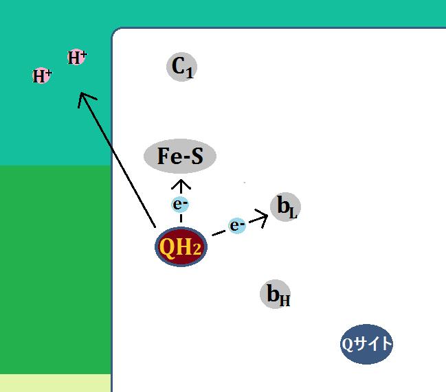 電子をFe-SとbLに伝達し、水素イオンを膜間腔に放出