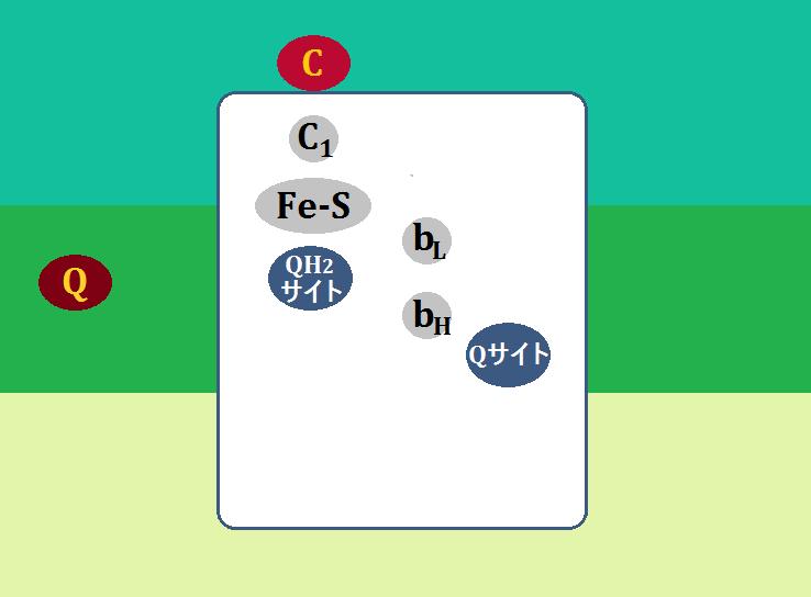 ユビキノール:シトクロムcレクターゼ複合体(複合体Ⅲ)