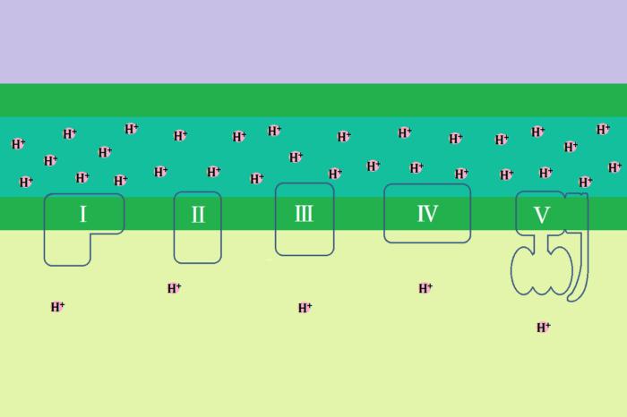 電子伝達系(呼吸鎖)について分かりやすく説明してみた②複合体Ⅲ~Ⅴ