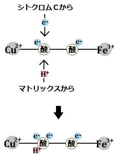 電子1つと水素イオン1つを取り込む