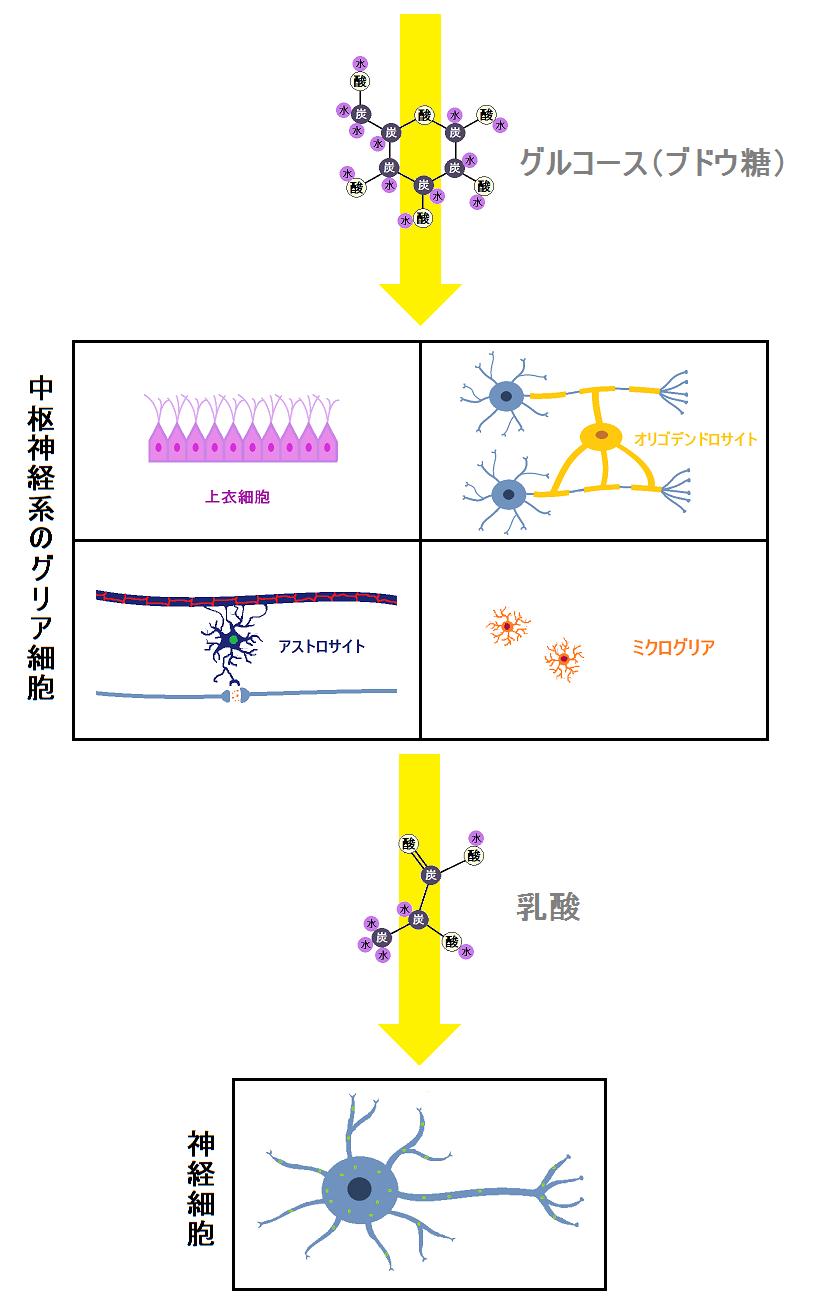 グリア細胞のエネルギー源はグルコースで神経細胞のエネルギー源は乳酸